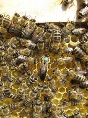 Пчёлы.Пчелопакеты.Пчелиные плодные меченые матки.Карпатка