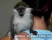 Ручная обезьянка. Карликовая мартышка верветка