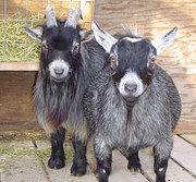Мини овцы ( карликовые овцы),  мини козы (карликовые овцы),  мунжаки и д