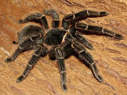Яркий паук птицеед Брахипелма Смитти Brahipelma Smithi 4-5 см по телу,