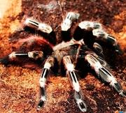 Гигантский паук птицеед