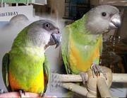 Сенегальчик - ручные полностью попугаи сенегальские желто- и оранжево-