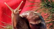 Улитки африканские ахатины,  мох живой ягель,  сфагнум,  прикорм